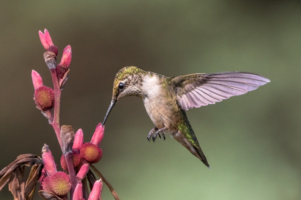 Helena Chu作品《Female Hummingbird》,野生动物组银奖