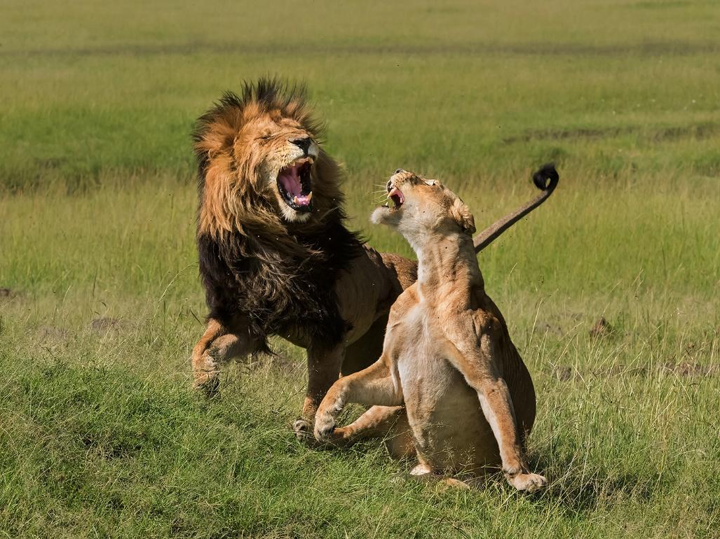 Yun Wang (王云)作品《Wildlife Lions Mating》,野生动物组铜奖